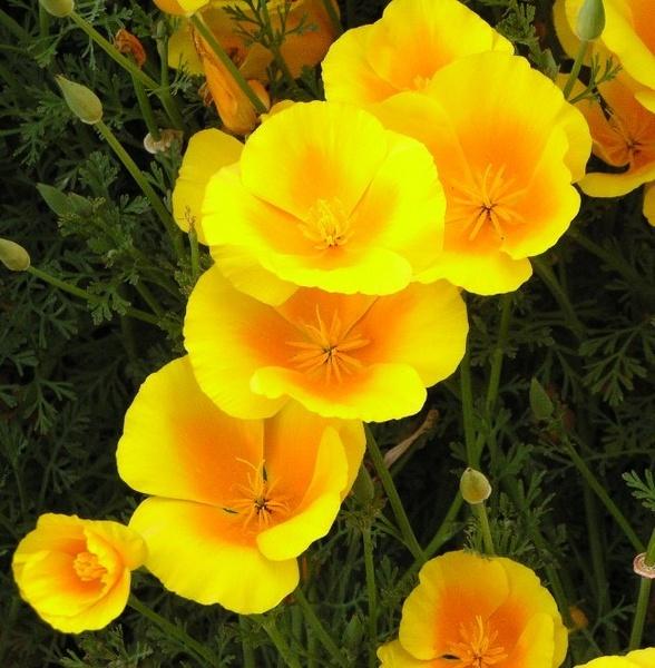 Californian poppies by spireite