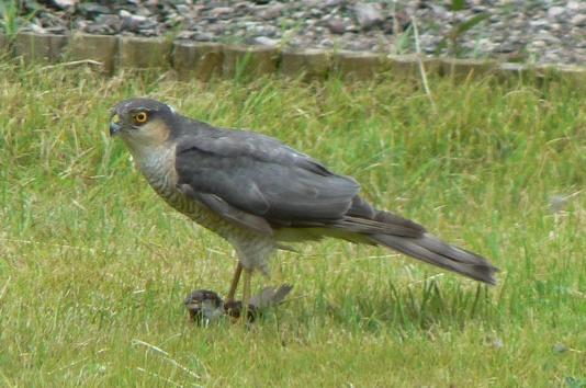 Sparrowhawk in garden by jove