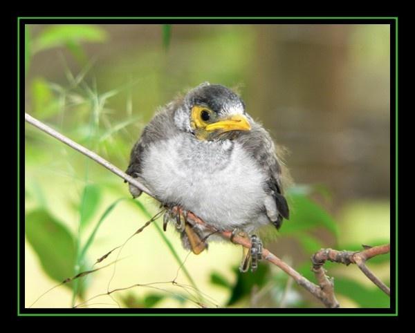 Baby Miner Bird by KangaGal