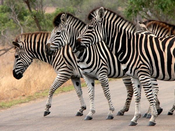 Zebra Crossing by KangaGal