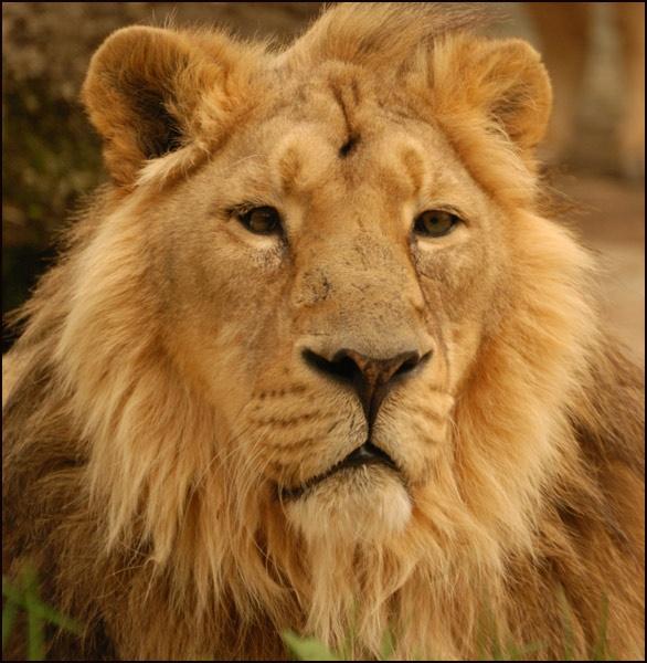 Just a Lion by grumpalot
