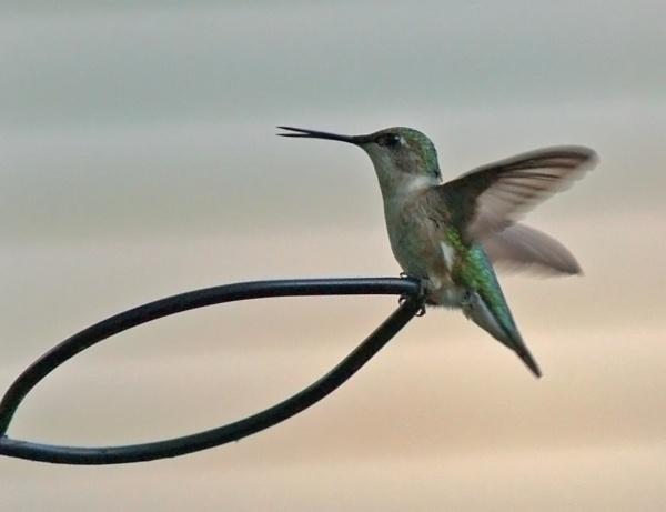 Hummingbird by Mrtaz30