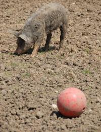 Pig Balling Around!
