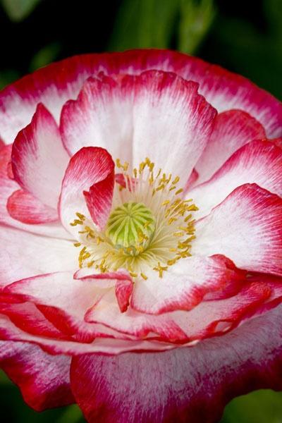 Poppy 2 by richard00