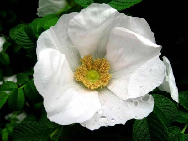 A Wild White Rose by ChrisPhotos145
