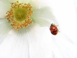 Ladybug on a Wild Rose