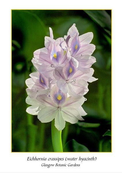 Eichornia cressipes by thebigA