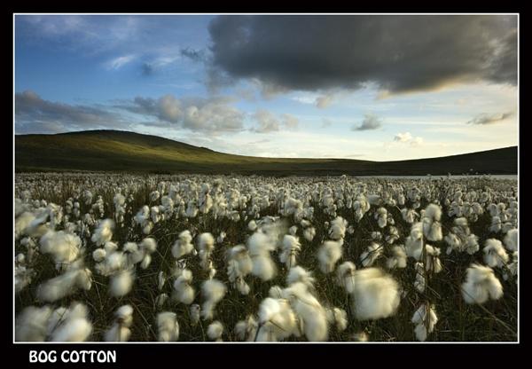Bog Cotton by Sconz