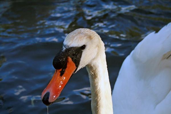 swan by sniperj67