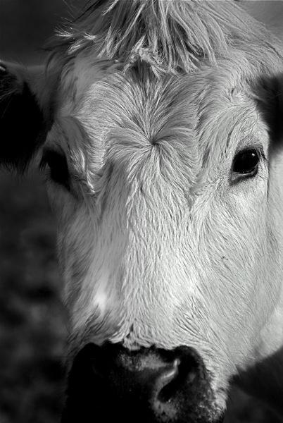 Cow by anpix