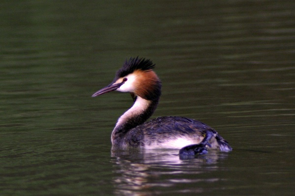 Great Crested Grebe by hawkeye2000ad