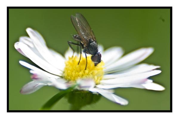 Little fly on daisy by richcukc