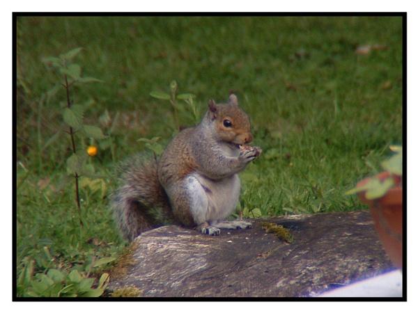 Grey Squirrel Eating by richcukc