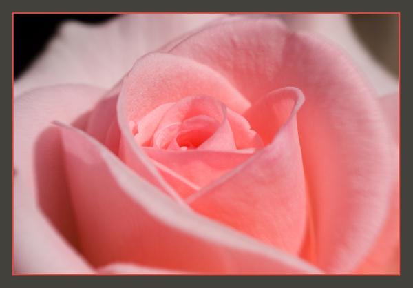 Pink Rose by adybazz