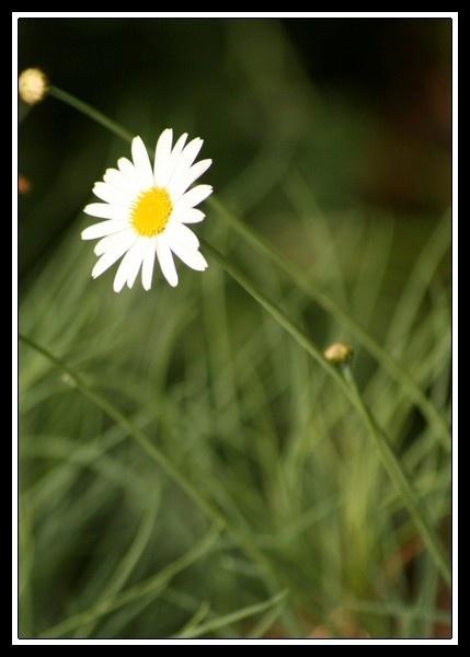 Daisy Daisy by vickik