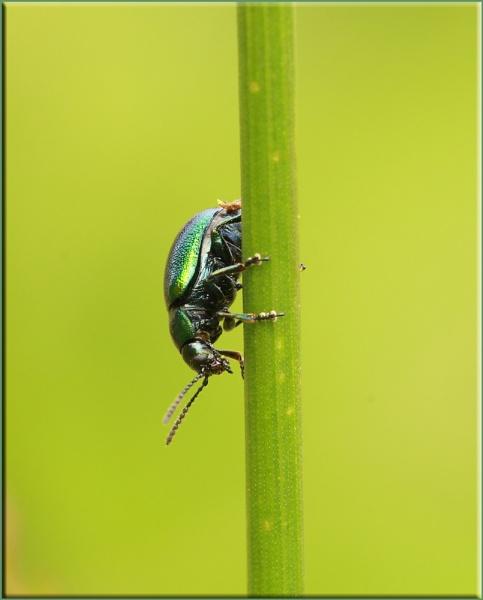 Green Dock Beetle by daffydill56