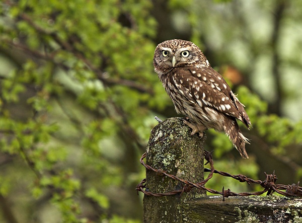 Little Owl by Simon_Whitehouse