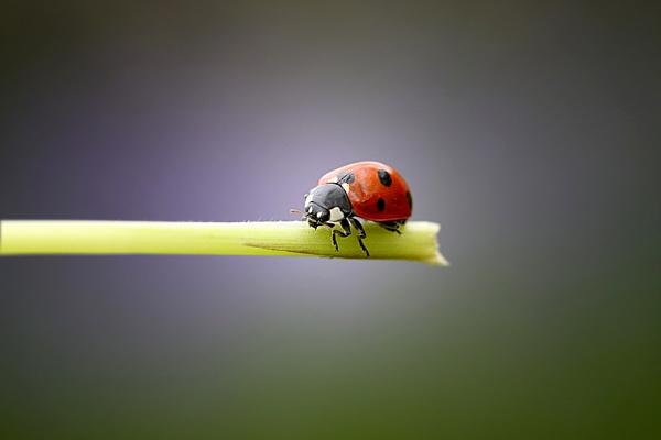 Ladybird by Trev_p