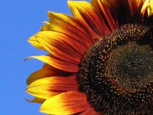 Sunflower by telfordtrio