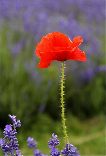 Poppy by JuliaGavin