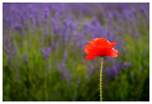 Lone poppy by JuliaGavin