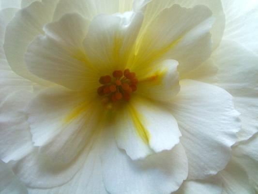 White Flower by wheeldon