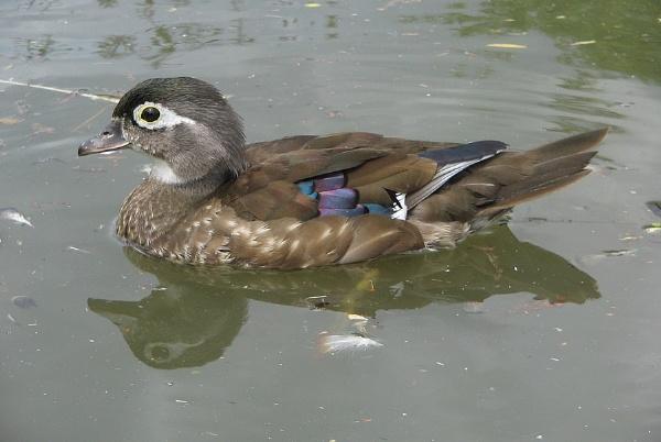 Female Wood Duck by Glostopcat