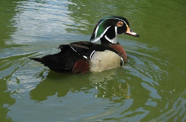 Wood Duck II by Glostopcat