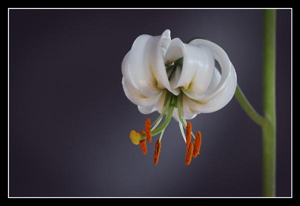 lilium martagon by zebhylon