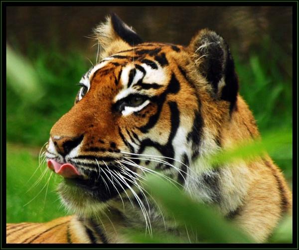 Tiger by blondiebee
