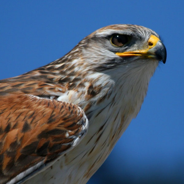 Feruginous Hawk by Seanf
