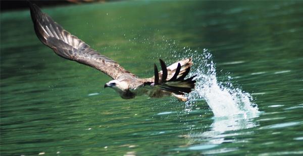 eagle feeding by amarashkanani