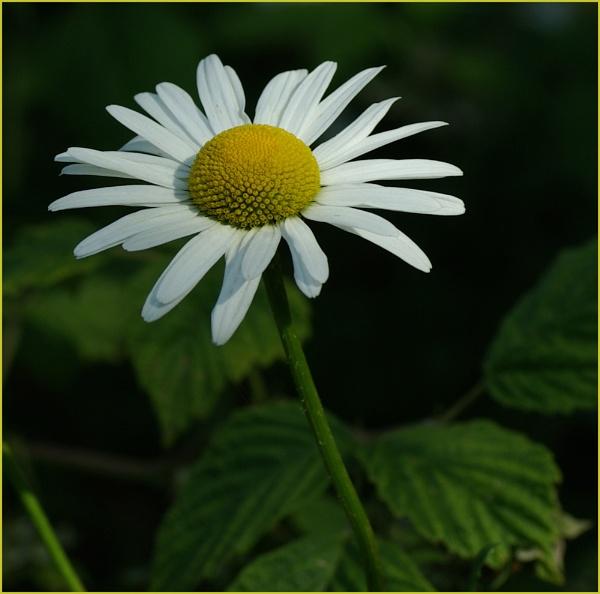 Daisy by microchip