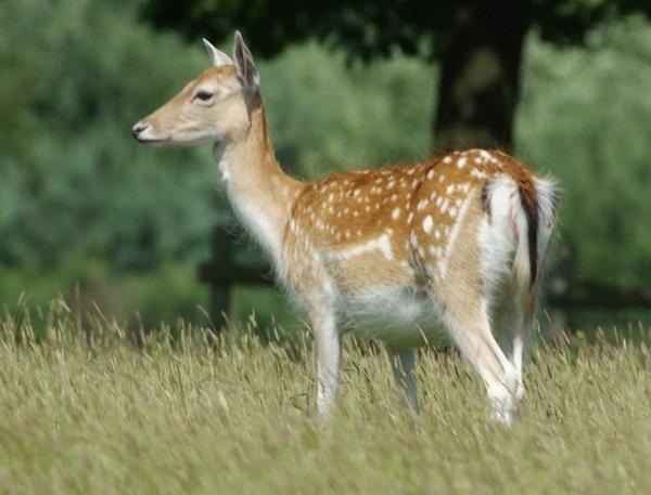 Fallow Deer by Bluetooth