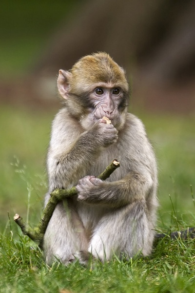Barbary Macaque by snoozle