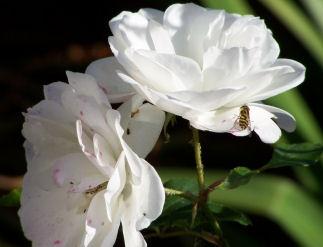 Rose & Wasp by bracken_donna