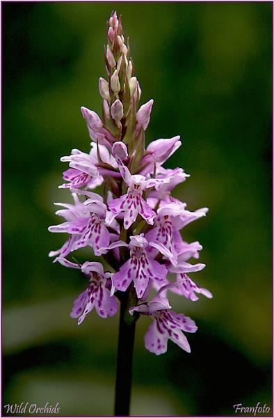 Wild Orchids by franfoto