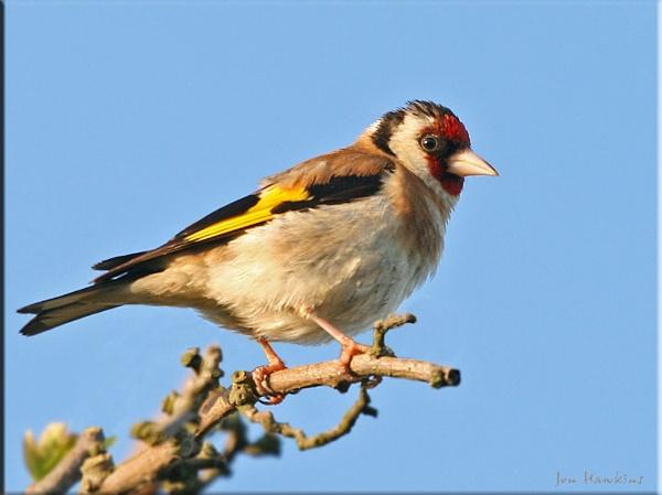 Goldfinch by SurreyHillsMan
