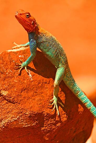 East African Rainbow Lizard by danielwaters