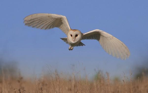 Barn Owl by nigelpye