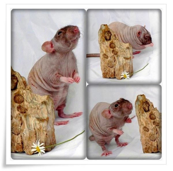 WRINKLY RAT by MRS_IMANDER