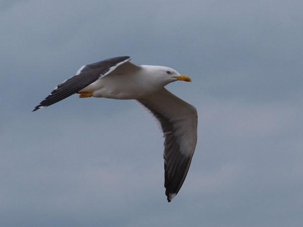 Gull by markymook