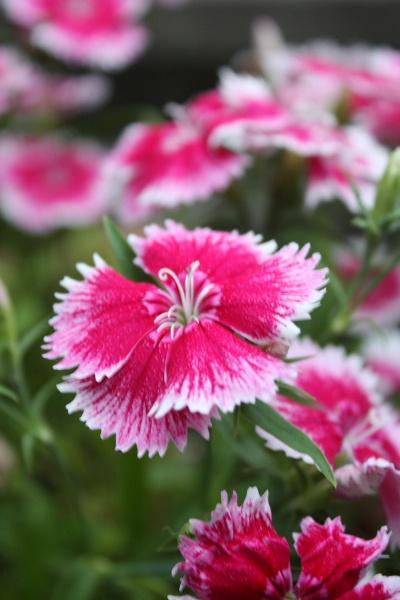 Pink\'s Pimm\'s by LeonSLR