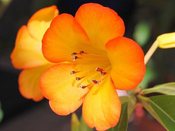 Backlit rhododendron by Prestidigitator