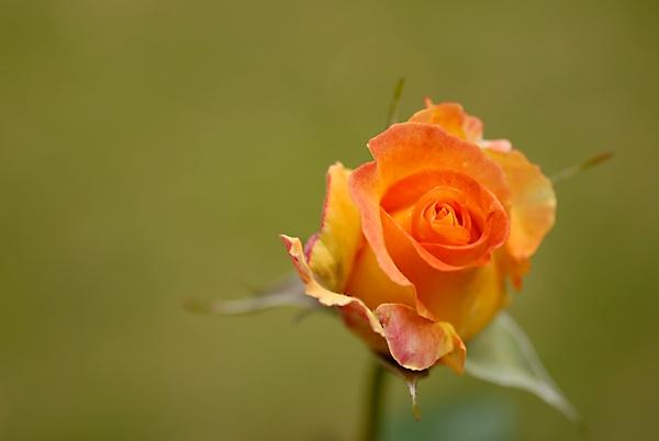 Rosebud by Clandestine