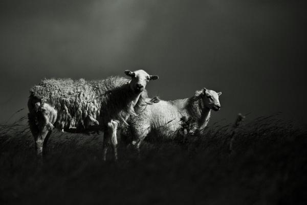 Welsh Lamb by Mari