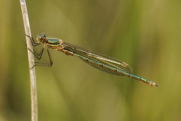 Emerald Damsel by discreetphoton
