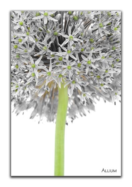 Allium Head by beamishthecat