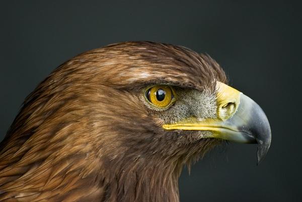 Golden Eagle by shortski