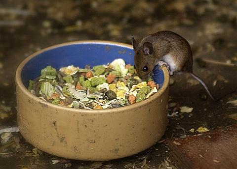 mousey by patman